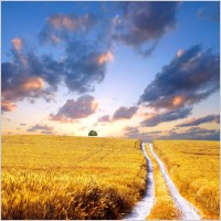 highquality_pictures_of_the_wheat_fields_under_the_sun_166066